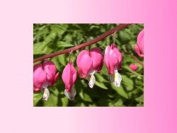 Valentine/Love Wallpaper - Bleeding hearts !
