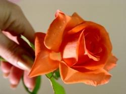 Valentine/Love Wallpaper - Holding roses