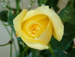 Valentine/Love Wallpaper - Yellow rose!